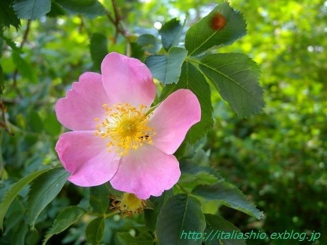 1-Rosa selvatica_GF.jpg