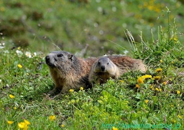 s-s-24 Marmotte curiose_GF.jpg