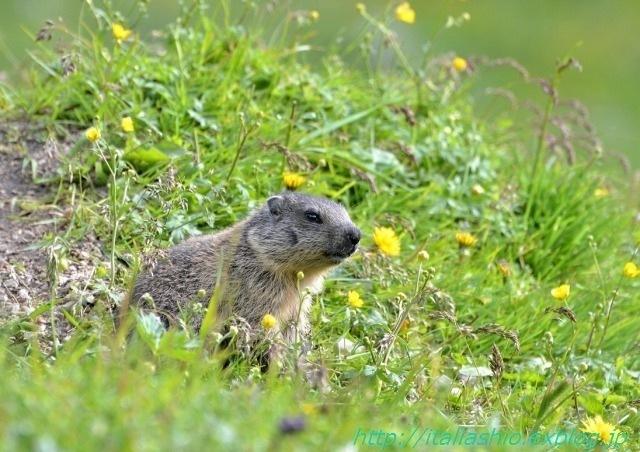 s-s-27 Piccolo di marmotta_GF.jpg